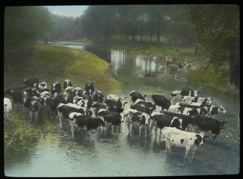 Cattle crossing a shallow stream, undated