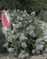 Hydrangea arborescens (woman next to plant)
