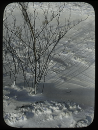 Deciduous shrub on snow