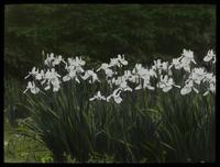 Siberian Iris, Waugh Garden (white iris)