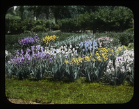 Rows of Bearded Iris