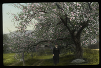 Woman (Mrs. Waugh?) Standing on road by mature apple tree in blossom