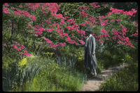 Woman admiring pink flowering shrub (rhododendron?) on plant- lined path