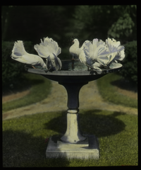 Garden (white fan tailed doves in bird bath)
