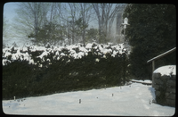 Norway Spruce (as a hedge, under snow)