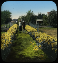 Man and woman on path between two rows of yellow bearded iris