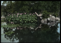Lotus, California (beside still pond with water lilies)
