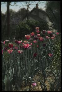 Mrs. B.B. Farmer's Garden, Saginaw, Michigan (Tulips)