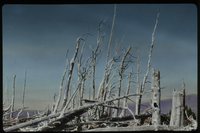 "Mt. Hood ""Ghost Forest"" (lying dead trees)"