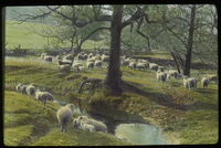 Flock of Sheep grazing by steam, field and trees