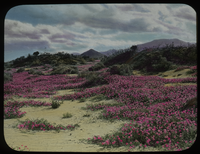 Pink wild flowers on sandy hilly ground