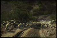 Dixie Forest - Utah (sheep being driven down the road)