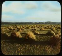 Grain field, Montana