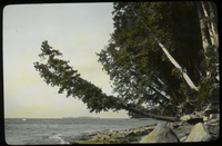 Arborvitae Lake Champlain (Old tree leaning over beach)