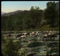 Catskills (cows drinking in shallow stream)