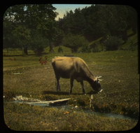 Mt. Toby (cow grazing by stream in field)