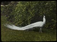 N.Y. Zool. Garden (white peacock)