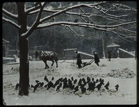 Boston Common (Horse drawn snowplow, pigeons)