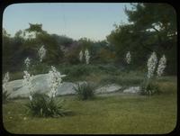 Yuccas, Central Park, N.Y., N.Y.