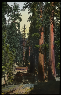 California Redwoods next to cabin