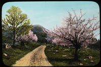 Massachusetts (crabapple trees in bloom along road)