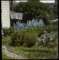 Eastport (private garden against house with drying laundry and  Delphiniums?)