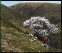 Skiddaw, Cumberland, England (Sheppard walking along mountains path with dogs and sheep, pink flowering tree in blossom)