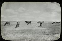 Prairie scene (horses grazing)