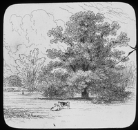 "Horse chestnut from Gilpin's ""Forest Scenery"" (field with trees and cows)"