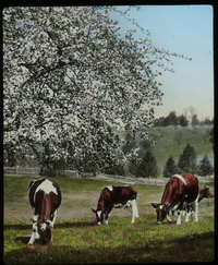 Cows grazing in field by apple tree in bloom