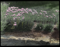 Armeria lauchean, MSC[Thrift] (Armeria laucheana flowers at Mass State College)