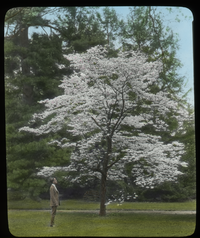 Dogwood, Amherst (dogwood tree in bloom with man observing)