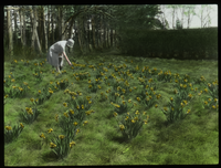 Naturalized Narcissus (Narcissus garden with woman)