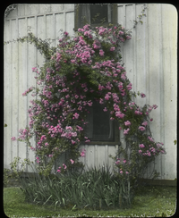 The Janitor's House (large flowering rose on side of janitor's house)