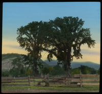 American Elm, New Hampshire (Landscape of American elms, wood fence and mountains)