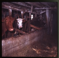 Cows in their stalls, barn at Montague