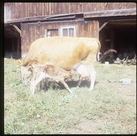 Milk cow and newborn calf