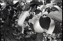 Apple tree (Warwick, Mass.), linking to the digital object