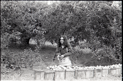 Ron Cobleigh, picking apples (Warwick, Mass.), linking to the digital object