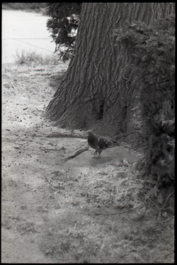 Pigeon standing at the base of a tree (Springfield, Mass.), linking to the digital object