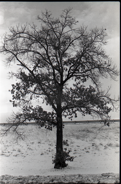 Tree in the snow outside JFK airport (New York, N.Y.), linking to the digital object