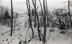 Birch stand in the snow, Warwick woods (Warwick, Mass.), linking to the digital object