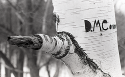 """Birch tree in snow-covered woods, initials """"DMC"""" carved in the trunk (Warwick, Mass.), linking to the digital object"""