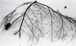 Branch in the snow (Warwick, Mass.), linking to the digital object