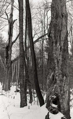 Tree trunks in snow-covered woods (Warwick, Mass.), linking to the digital object