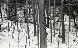 Tree trunks and stream in snow-covered woods (Warwick, Mass.), linking to the digital object
