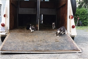 Cats in the mounted horse patrol's horse trailer