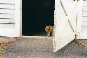 Goldie at the side door to the Horse Barn