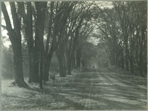Tree-lined lane, with carriage in background