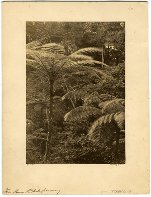 Tree ferns, Gt. Hill, Penang, linking to the digital object
